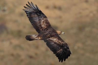 Golden Eagle (Aquila chrysaetos) Flying ©WikiC