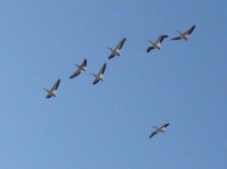 Circle B Bar White Pelicans