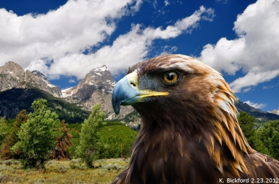 Golden Eagle and Grand Tetons ©Kayforkatie