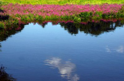 Reflection of Flower in the River ©WikiC