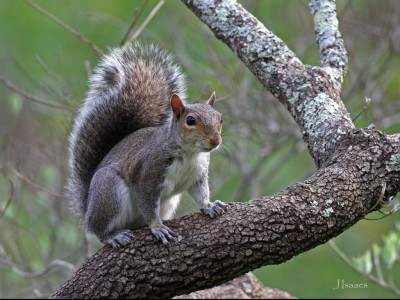 Rocky-Squirrel-jjsj.for-BaronBrown-blog.docx
