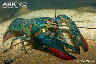 Large Tropical Blue Crayfish - Captive ©Dave Wilson