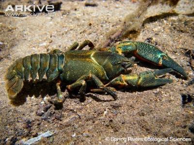 Shasta Crayfish