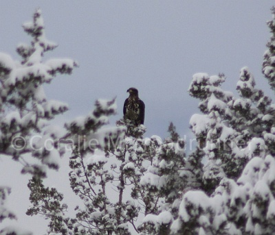 Golden Eagle in Snow ©@Flickr Coralle