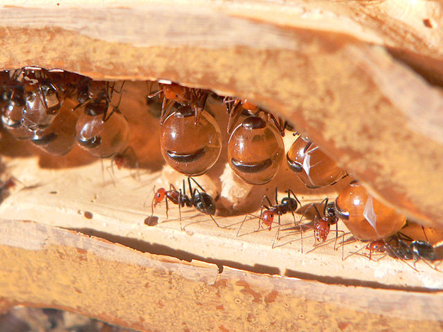 Honeypot ants at the Cincinnati Zoo, United States ©©