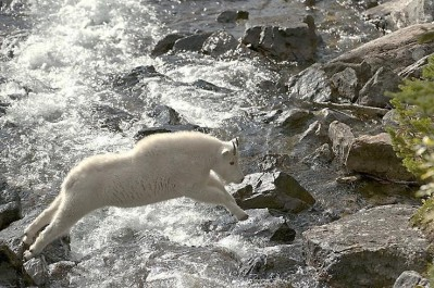 Agile Mountain Goat Jumping across River