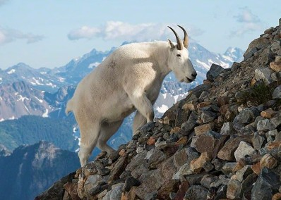 Mountain Goat in Rocky Mountain