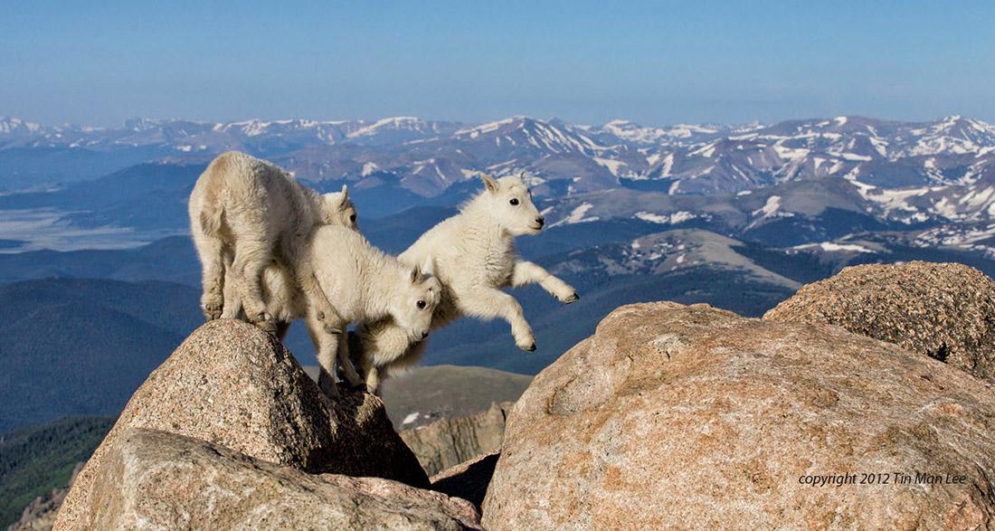 Mountain Goat Kids Juming ©TMLee