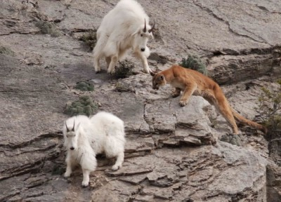 Mountain Goats in Danger in Mountain