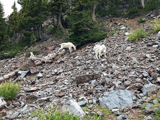 Mountain Goats on Rocky Hill