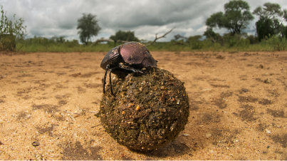DungBeetle.ScienceMag-photo