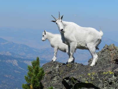 mountain-goat.pair-high-up