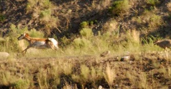 pronghorn-chased-by-coyote.photo