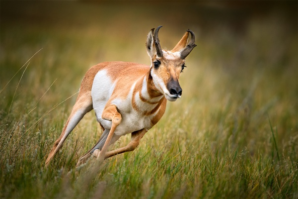 pronghorn-coming-fast.closeup-turning