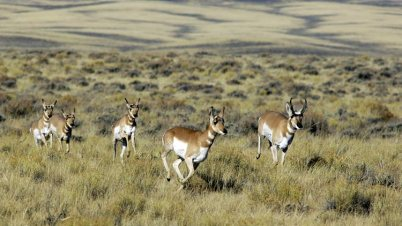pronghorn-herd.open-prairie