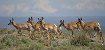 pronghorn-herd.photo-by-HeatherCoen