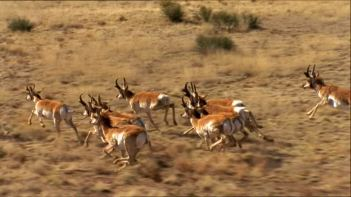 pronghorn-herd-running.prairie