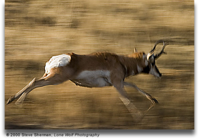 pronghorn-running-blurred-background.photo-by-Sherman