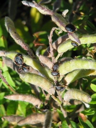 conchuelabugs-on-bluebonnet-seedpods