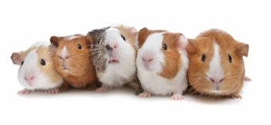 guineapigs-together