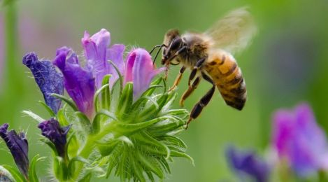 honeybee-at-purplehued-flowers