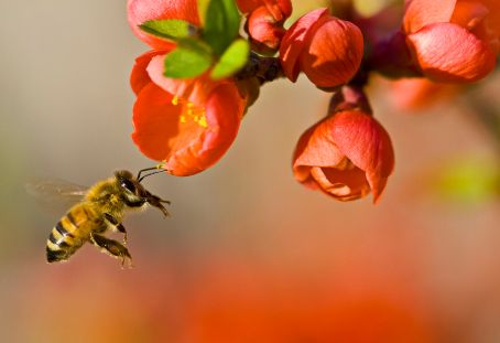 honeybee-pollinating-red-flower