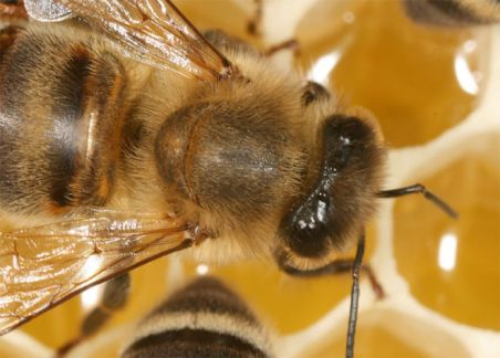 honeybee-upon-honeycomb