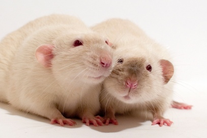 lab-rats-albino-pair