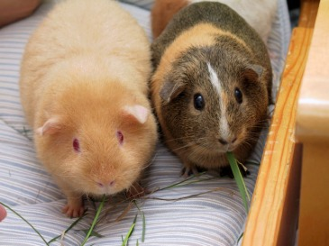 ppt-guineapigs-pair