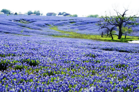 tx-bluebonnets-blanket-field