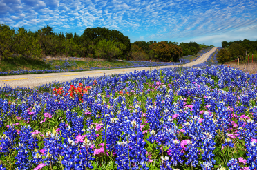 tx-bluebonnets-roadside