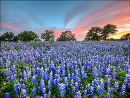 tx-bluebonnets-sunset