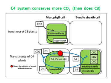 c4-photosynthesis-compared-to-c3-diagram