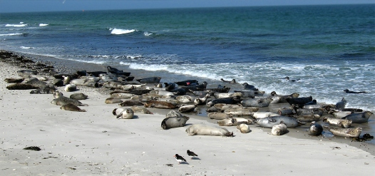harborseal-haulout-germany-colony-beach