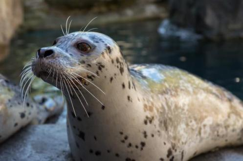 harborseal-oregonzoo-closeup-whiskers