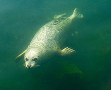 harborseal-swimming-wikipedia