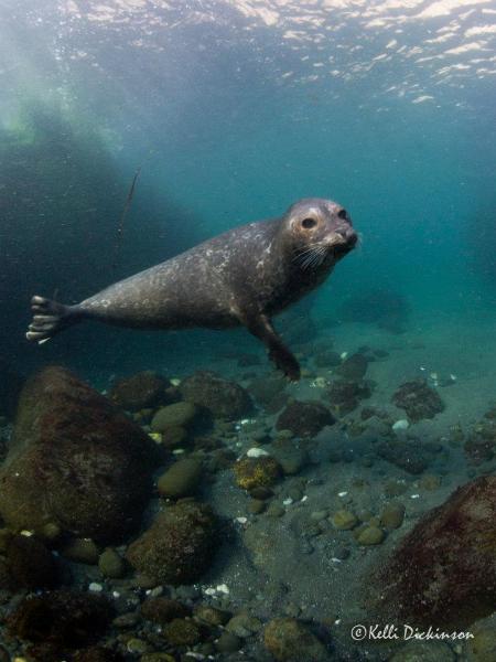 harborseal-underwater-channelislands-calif-coast