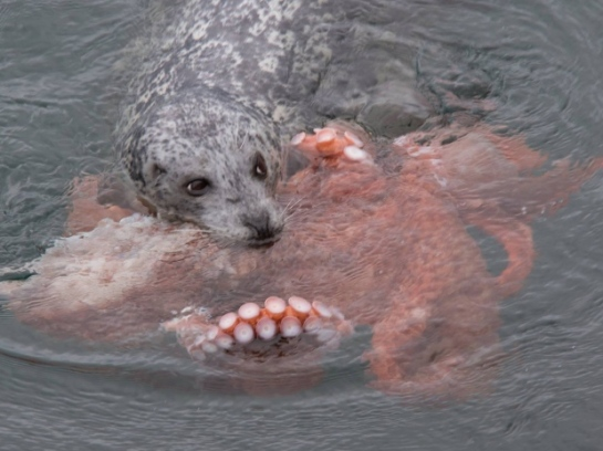harborseal-vs-octopus-whoa
