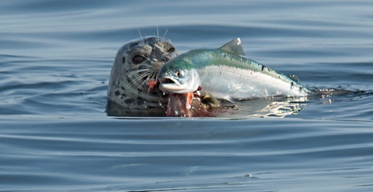 harbourseal-eating-salmon