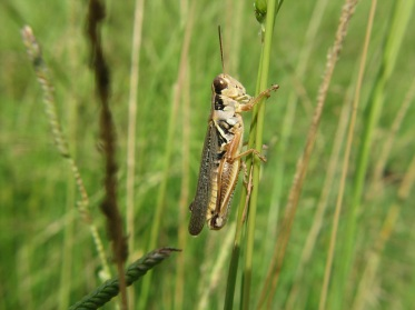 ppt-grasshopper-in-grass