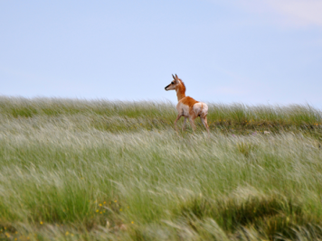 ppt-grassland-with-pronghorn