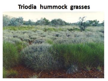 ppt-hummock-grasses-triodia