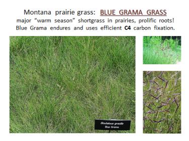 ppt-montana-bluegramagrass-c4
