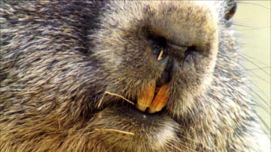 marmot-front-teeth-closeup