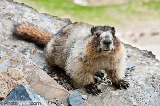 Marmot-on-rock.closeup.jpg