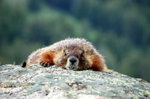 marmot-yellow-bellied-lowcrawling