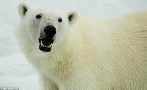 polarbear-displaying-teeth
