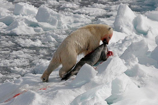 polarbear-eating-seal