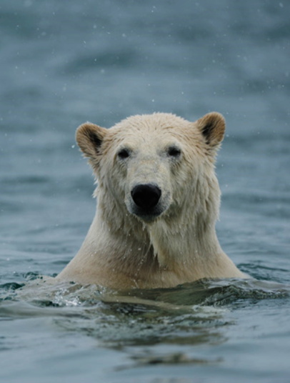 PolarBear-head-above-seawater.png