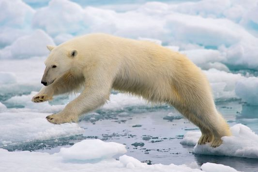 PolarBear-Leapfrogging-Ice.jpg